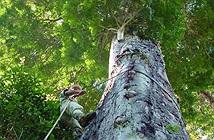 Phát hiện loại cây cao kỷ lục tại rừng nhiệt đới Amazon