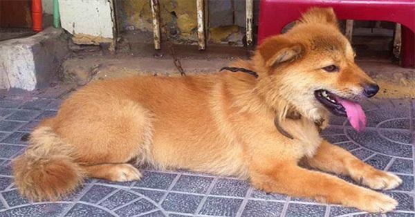 """""""Tứ đại quốc khuyển"""" của Việt Nam gồm những giống chó quý hiếm nào?"""