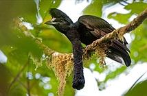 Truy tìm loài chim có vật thể kì lạ vừa dài vừa to lại còn cụp xòe tùy ý