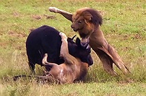 Clip: Mẹ con trâu rừng chết thảm trước 3 con sư tử đực