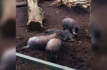 Lần đầu phát hiện lợn sử dụng công cụ, khả năng trí tuệ khác lạ