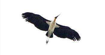 Chim lớn quý hiếm bất ngờ xuất hiện giữa trung tâm TPHCM