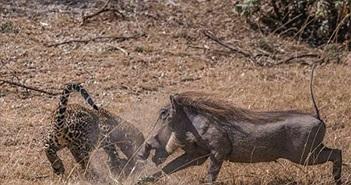 Lợn rừng mẹ tuyệt vọng chiến đấu báo đốm để cứu con