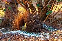 Đây là loài chim được mệnh danh là thánh tán gái của thế giới động vật