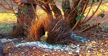 """Đây là loài chim được mệnh danh là """"thánh tán gái"""" của thế giới động vật"""