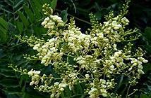 Khám phá về cây hoa hòe người xưa rất coi trọng