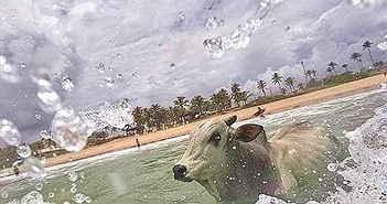 Thất vọng vì con người tàn nhẫn, bò lao xuống biển tự tử