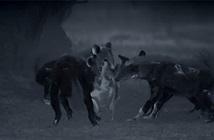 Linh cẩu và cá sấu lần lượt tung đòn bất ngờ giết chết chó hoang