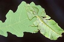 Loài côn trùng có khả năng sao chép 99,99% hình dáng lẫn chuyển động của chiếc lá