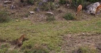 Thất kinh khoảnh khắc săn giết linh dương của báo đốm