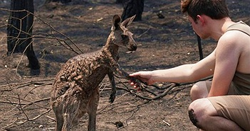 Kangaroo bị bỏng nặng vào nhà dân tìm sự giúp đỡ sau cháy rừng Australia
