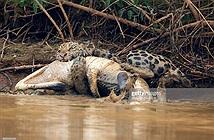 Kịch tính báo đốm lôi cá sấu khủng lên bờ ăn thịt