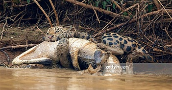 """Kịch tính báo đốm lôi cá sấu """"khủng"""" lên bờ ăn thịt"""