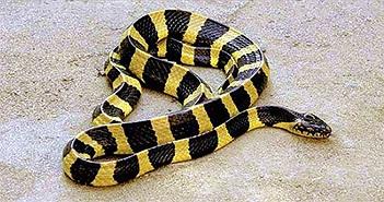 Cách phân biệt rắn cạp nong và rắn cạp nia