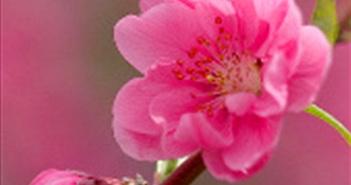 Những loài hoa tiêu biểu của mùa xuân