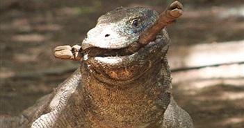 10 sự thật đáng ngạc nhiên về rồng Komodo