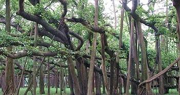 Cận cảnh cây đa khổng lồ to bằng cả khu rừng