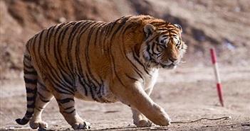 Chưa đến Tết Nguyên đán, hổ vằn đã béo núc ních gây chú ý