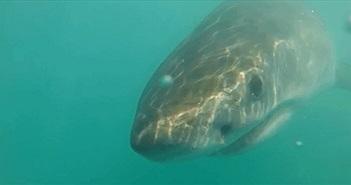 Lật ngửa bụng cá mập, sửng sốt phát hiện điều khó tin