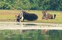 Báo đốm không dám khiêu chiến thú ăn kiến khổng lồ