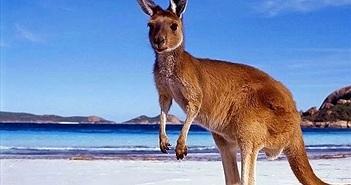 "Giai thoại về nguồn gốc cái tên ""kangaroo"""