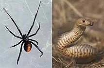Rắn cực độc tử chiến nhện độc không kém và kết quả choáng