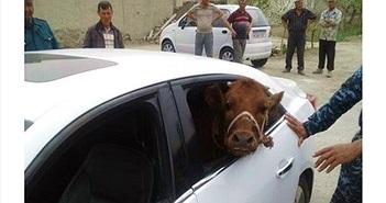 Bó tay lái xế sang đi... trộm bò