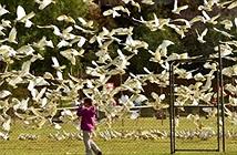 """Hãi hùng loài chim vẹt trắng """"khủng bố"""" dân bằng âm thanh"""