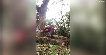 """Cưa cây cổ thụ, người đàn ông bị cây """"cho ăn đòn"""""""