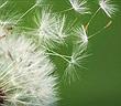 """Cận cảnh """"vòng đời"""" của hoa bồ công anh khiến nhiều người ngỡ ngàng"""