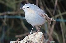 Chim oanh lẻ bóng4 năm vì bộ lông bạch tạng