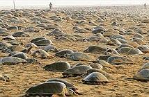 Rùa biển đồng loạt lên bờ đẻ trứng
