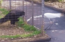 Cò cướp thức ăn của đại bàng và bị trừng phạt nặng nề