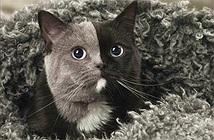 Những con mèo mặt hai màu nổi tiếng nhất thế giới