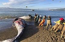 Rùng mình cá voi suy dinh dưỡng liên tục dạt bờ chết thảm