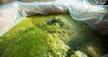 Tập ăn rong tảo ngay đi, vì đó sẽ là thực phẩm chính của tương lai