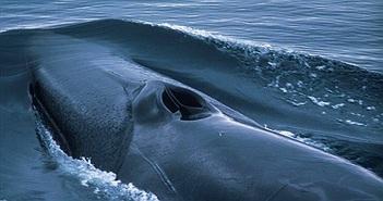 Tại sao lỗ mũi của cá voi lại nằm trên đỉnh đầu?