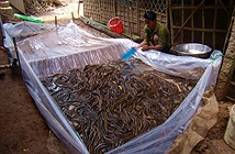 Sử dụng bồn nylon nâng cao năng suất nuôi lươn trên cạn