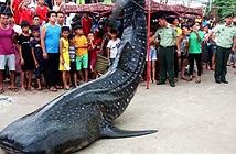 Cá mập voi nửa tấn dạt bờ, được xe cẩu đưa về bảo tàng
