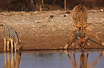 Nỗi khổ của hươu cao cổ khi uống nước