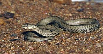 Loài rắn sống ở mái nhà thế giới nắm bí mật sinh tồn của con người?