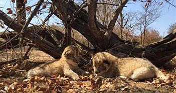 Cận cảnh những con sư tử đầu tiên sinh ra trong ống nghiệm