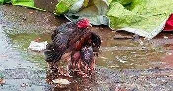 Khoảnh khắc tuyệt đẹp gà mẹ giang cánh che chở đàn con