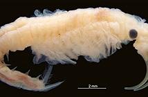 Phát hiện loài giáp xác mới tại nơi nóng nhất Trái đất