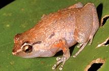 Phát hiện 2 loài ếch mới ở New Guinea