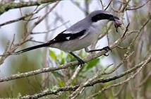 Chim có sở thích kinh dị: Ghim xác con mồi lên cây gai