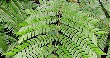 Khoa học Việt nhân giống cây rừng quý trị bệnh ung thư gan