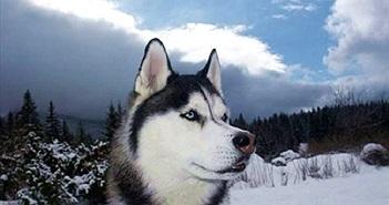 Đặc điểm thú vị của giống chó Husky ít ai hay