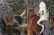 Cóc mía lừng danh ác độc chết thảm bởi chuột sông