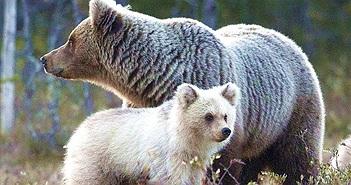 Lạ lùng gấu trắng cực hiếm như con lai gấu Bắc cực và gấu nâu